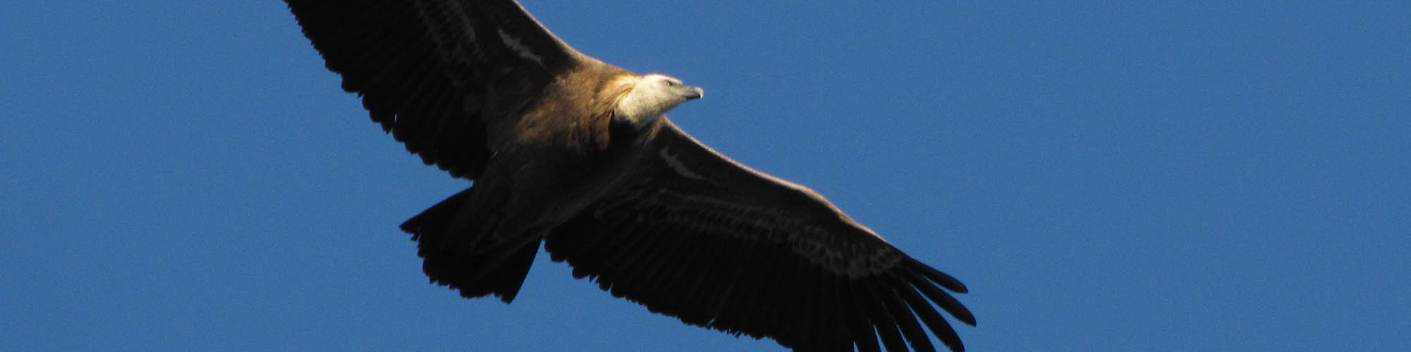 The Local Expert - The Griffon Vultures